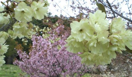 五色桜はまだ見頃(25.5.10)