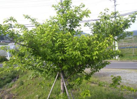 千歳桜の子(2)(25.5.14)