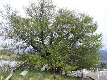 新緑の千歳桜(25.5.14)