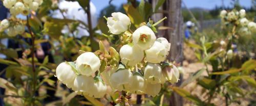 ブルーベリーの花(25.5.22)