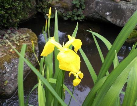 池の花(25.5.28)