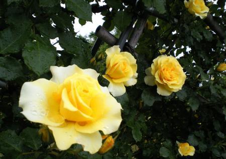 バラの花6(25.5.30)