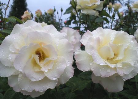 バラの花4(25.5.30)