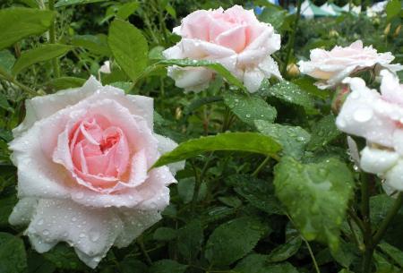 バラの花1(25.5.30)