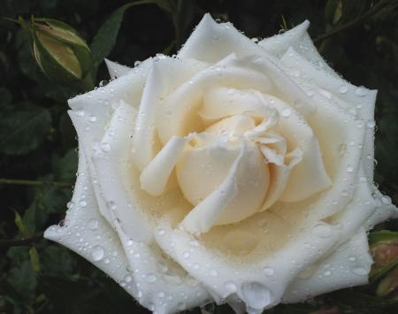 バラの花10(25.5.30)