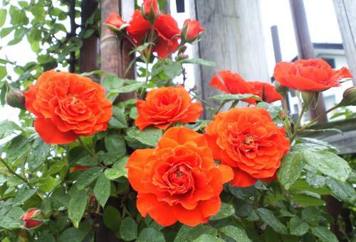 バラの花11(25.5.30)