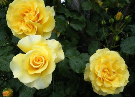 バラの花12(25.5.30)