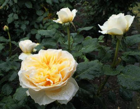 バラの花20(25.5.30)