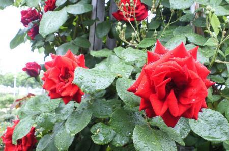 バラの花14(25.5.30)