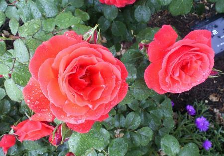 バラの花16(25.5.30)