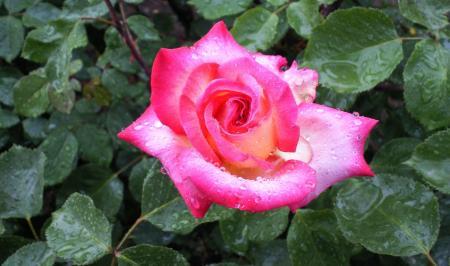 バラの花(25.5.30)