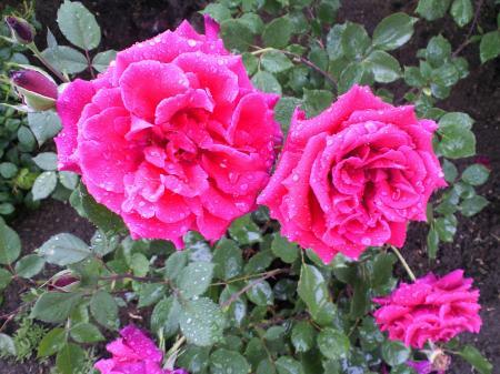 バラの花19(25.5.30)