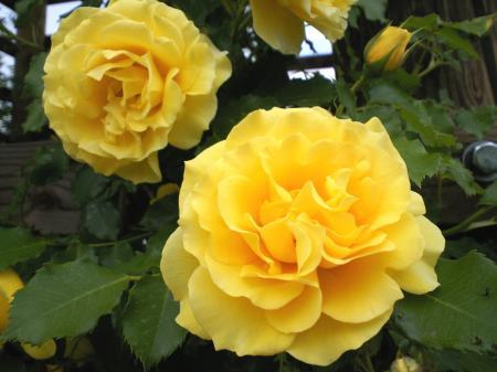 黄色のバラ(25.6.7)