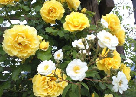 2種類のバラ(25.6.7)