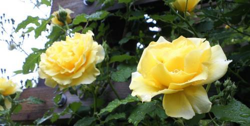 バラ塔のバラ(25.6.15)