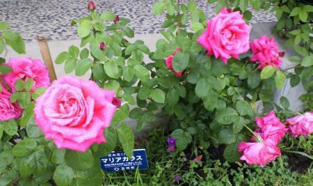 よませ活性化センターのバラ(25.6.15)
