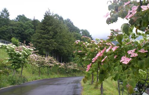 ヤマボウシ並木(25.6.15)