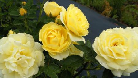 公園内のバラ(25.6.15)
