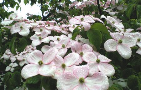ピンクのヤマボウシ(25.6.15)