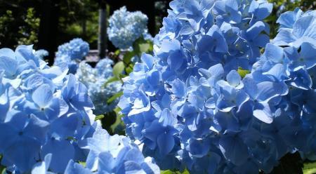 青紫陽花(25.6.30)
