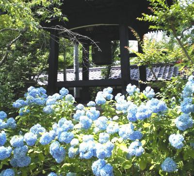 鐘楼前の紫陽花(25.6.30)