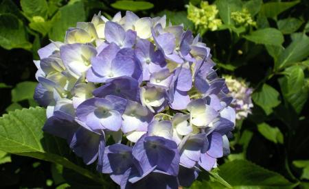 紫紫陽花(25.6.30)