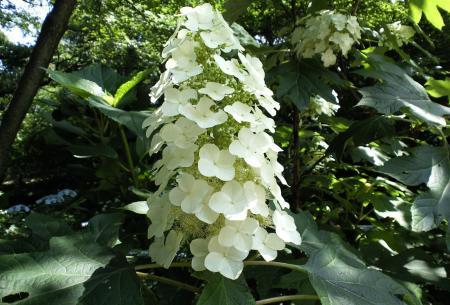 白紫陽花(25.6.30)