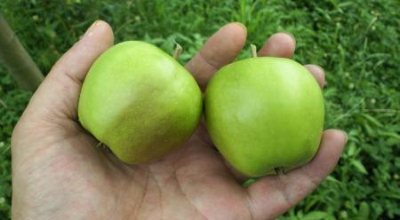 摘果リンゴ(25.7.8)