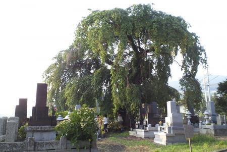 区民会館前のしだれ桜と白山墓地(25.8.13)