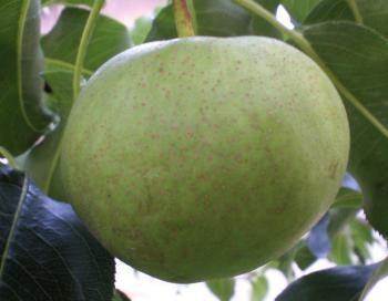 リンゴナシ(25.8.17)