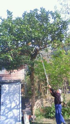 ボンタンの木