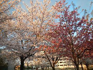 通勤路桜2013 (9)