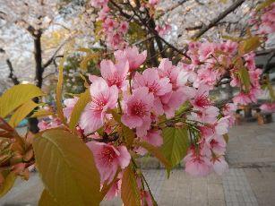 通勤路桜2013 (10)