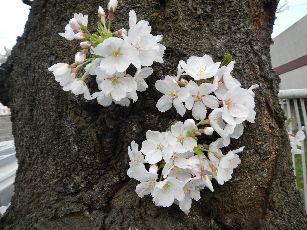 桐ヶ丘桜3-22 (1)