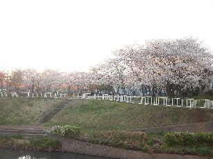 通勤路桜2013 (12)