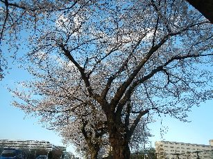 通勤路桜2013 (38)
