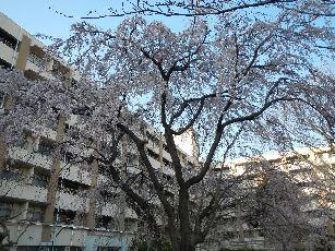 桐ヶ丘団地しだれ桜 (3)