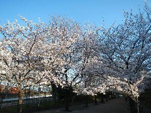 通勤路桜2013 (45)