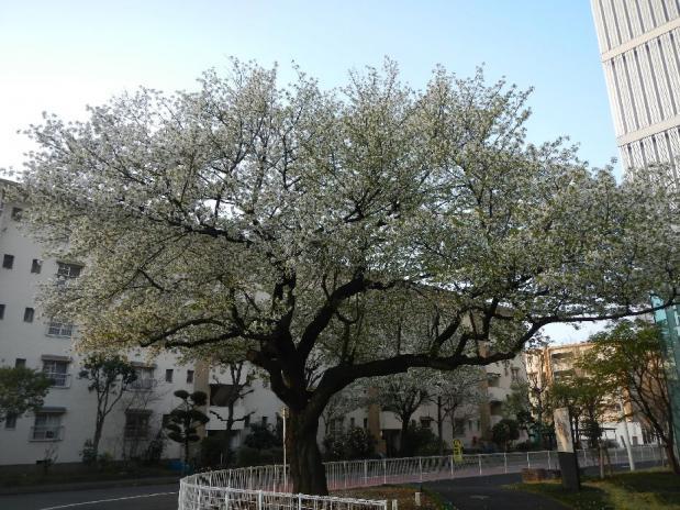 大島桜 (2)