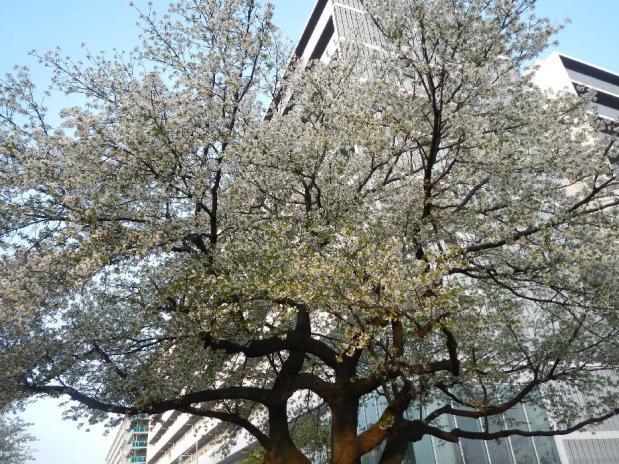 大島桜 (3)