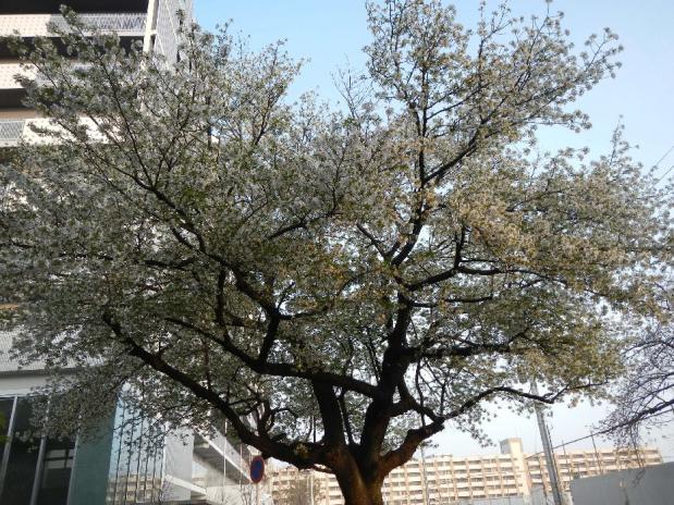 大島桜 (5)