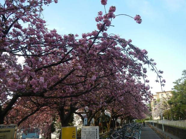 赤羽八重桜 (5)