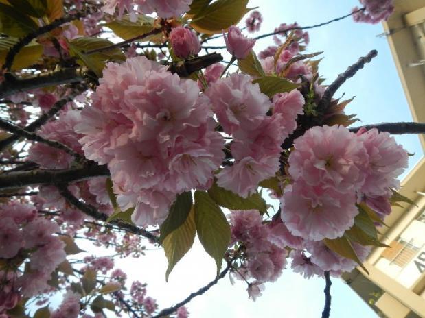 赤羽八重桜 (12)