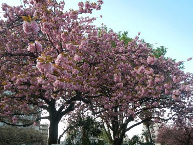 赤羽八重桜 (14)