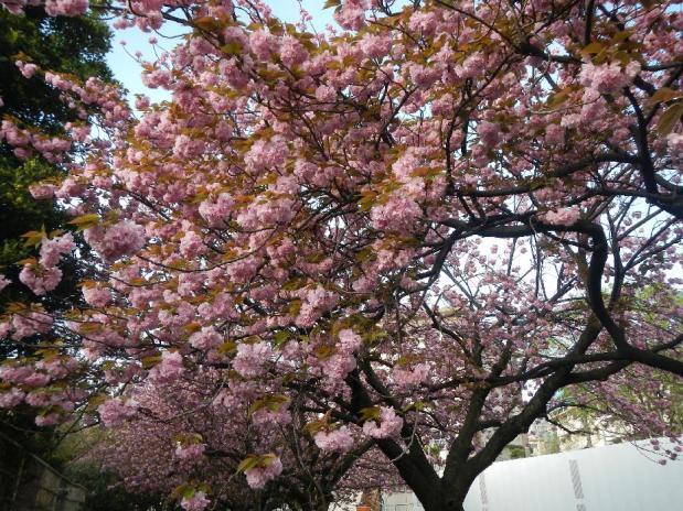 赤羽八重桜 (23)