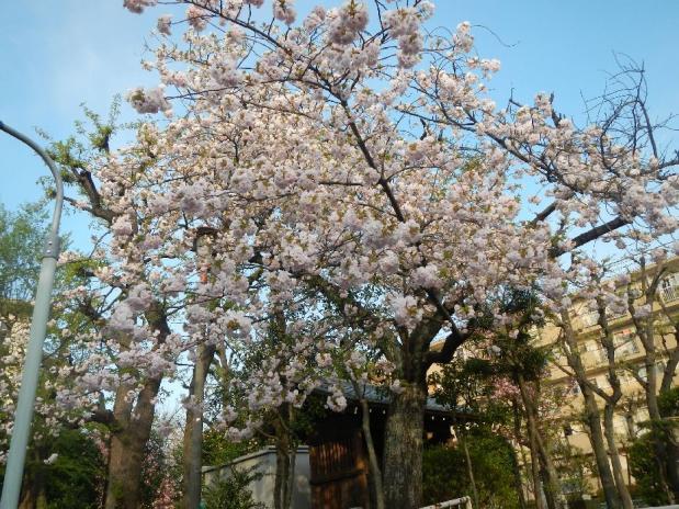 赤羽八重桜 (9)
