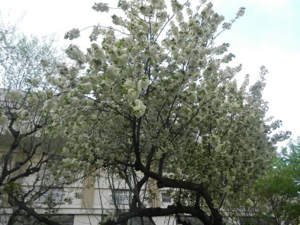 赤羽八重桜 (38)
