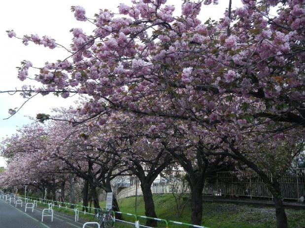 トンネル上八重桜 (9)