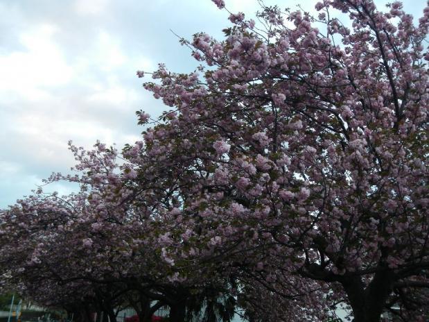 トンネル上八重桜 (14)