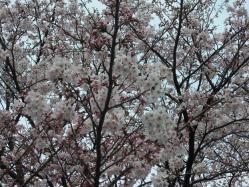 2012年の桜です